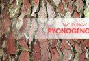 Thông đỏ đại dương Pháp (Pycnogenol)